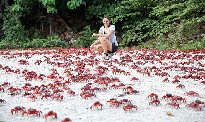 Christmas Adası'ndaki kırmızı yengeçler