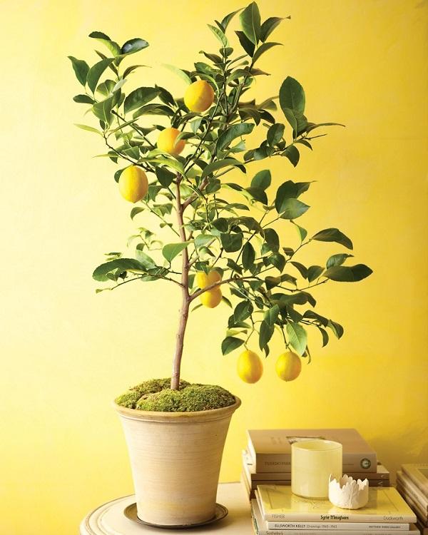 Evde Limon Yetiştirme
