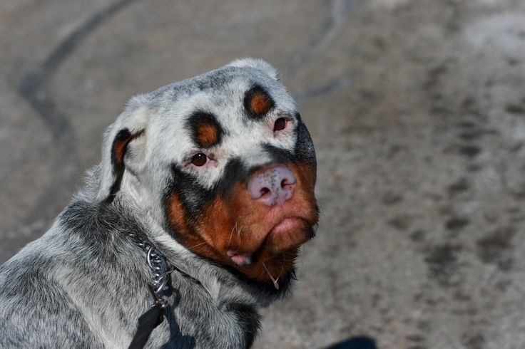 Vitiligo Rottweiler