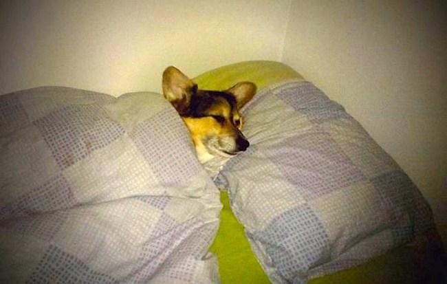 Yatakta ısınan köpek