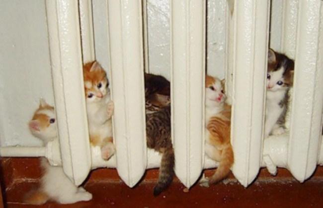 kalorifer peteğinde ısınan yavru kediler
