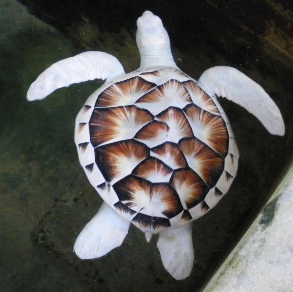 leucistik kaplumbağa