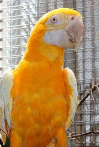 sarı macaw papağanı