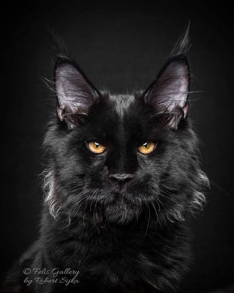 Büyük evcil kedi türleri