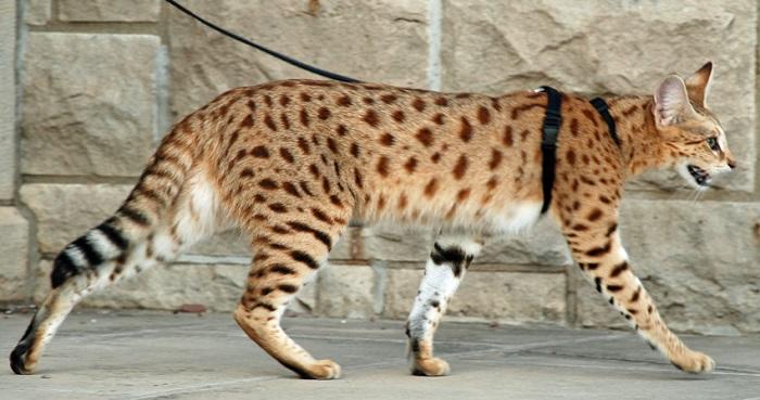 en büyük evcil kedi türleri