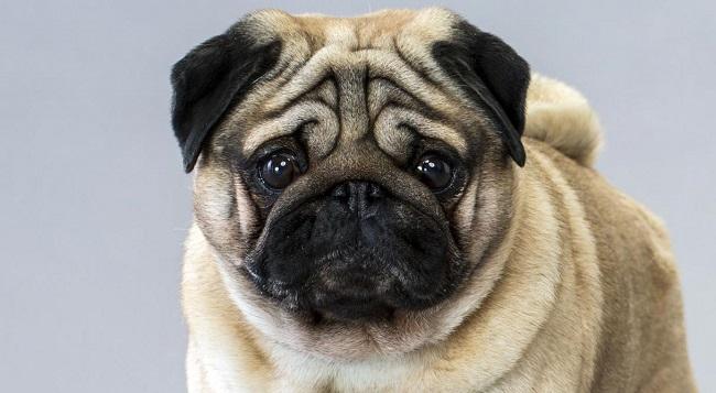 köpeklerin yüzleri ömürlerini belirleyebilir