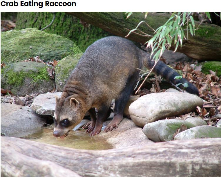 Crab Eating Raccoon