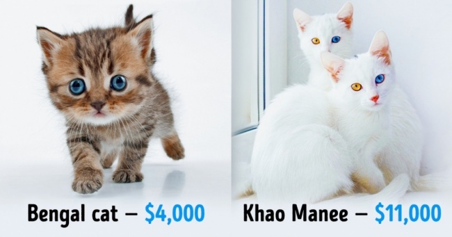 How Much Does A Grumpy Cat Cost