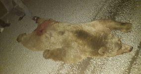 Bozüyük ayı kazası