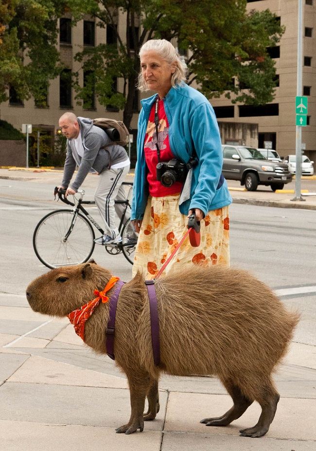 Kapibara beslemek