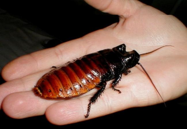 Madagaskar Tıslayan Hamam Böceği