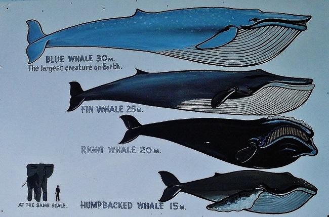 Mavi Balinalar ne kadar büyük
