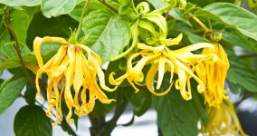 Ylang-Ylang flower on tree, for the manufacture of essential oil