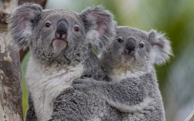 anne ve yavru koala