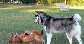 köpeklerin davranışlarının anlamları