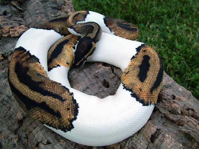 alaca yılan