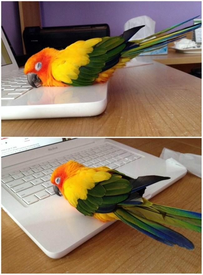 laptopta ısınan papağan