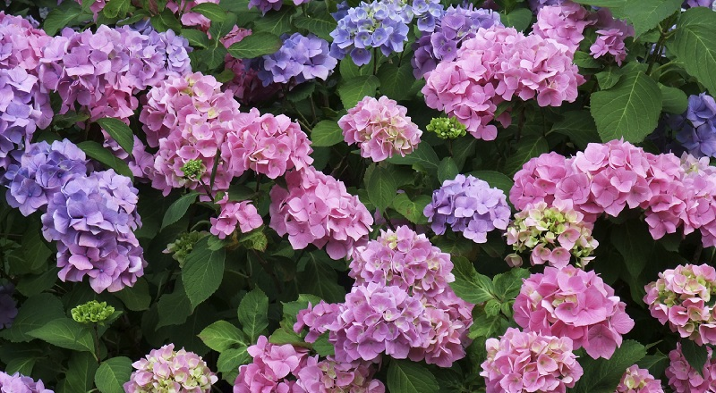 zehirli bahçe çiçekleri