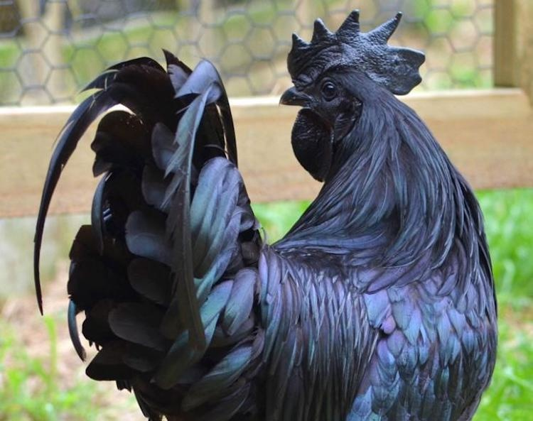 Her yeri siyah tavuk türü