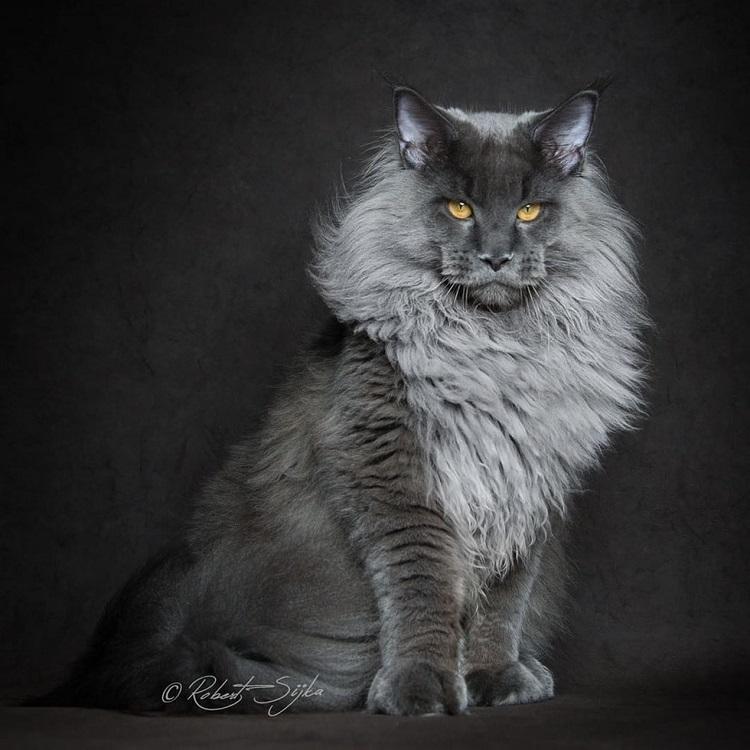 Maine Coon kedisi