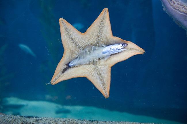 denizyıldızı balık yiyor
