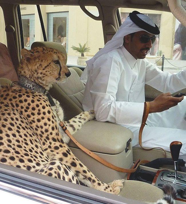 Dubai evcil çita