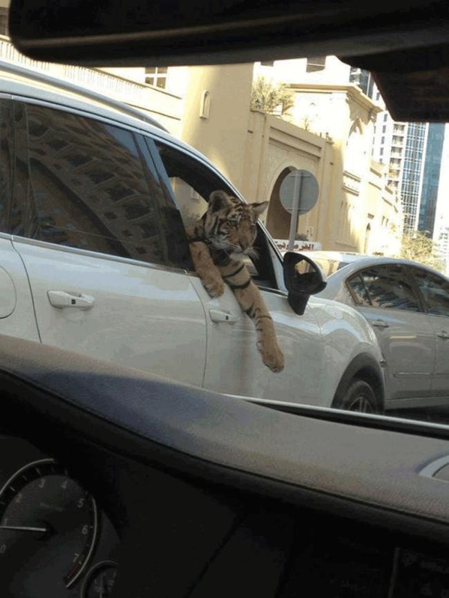 Dubai evcil kaplan