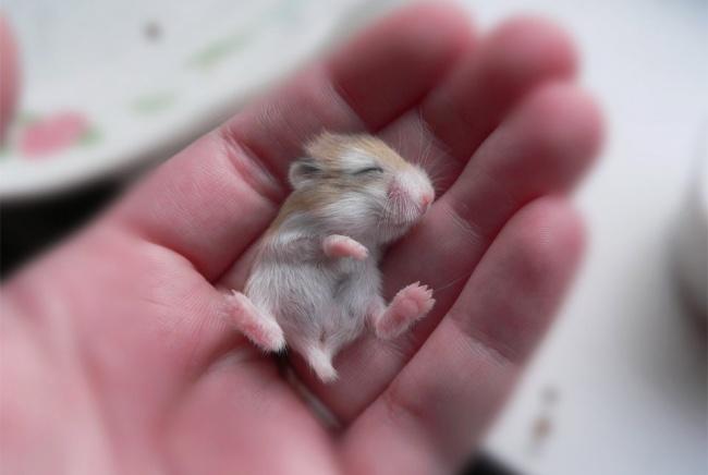 Yavru Hamster