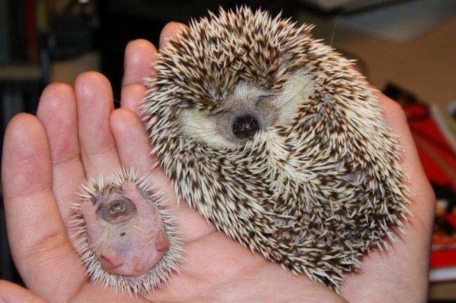 Yavru Kirpi ve Annesi