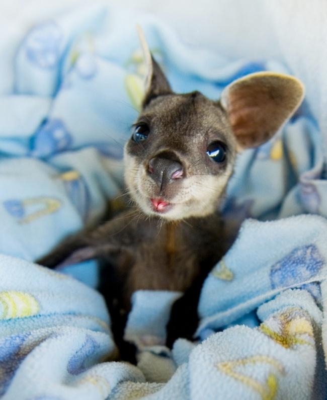 Yavru kanguru
