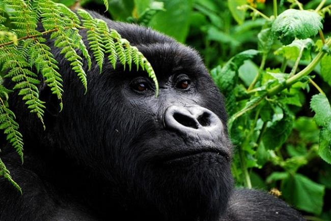 Dağ Gorili