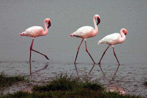 Flamingolar neden pembe