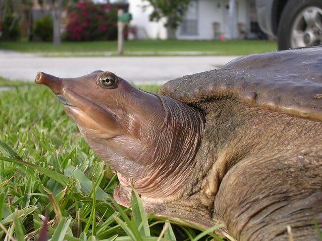 Çin yumuşak kabuklu kaplumbağası