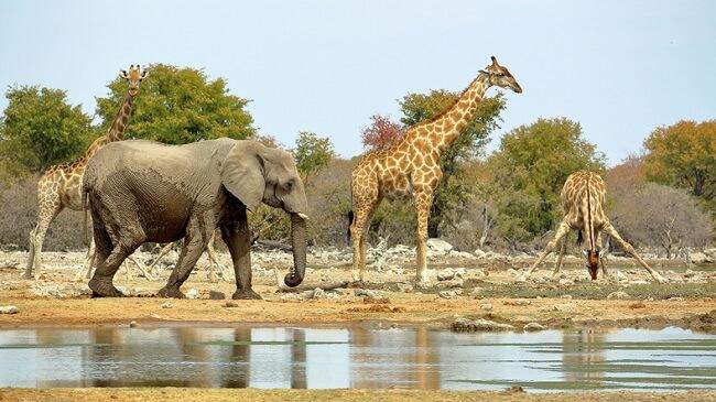 afrika filleri ve zürafalar